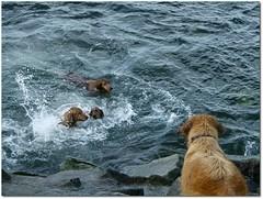 Pets Swimming (.Tatiana.) Tags: dog pet topc25 riodejaneiro cachorro aterrodoflamengo fredericomendes fotoclube tatinorio siteparavendadefotos httpwwwplanobfotodesigncom fototatianasapateiro