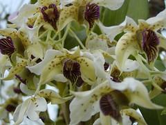 Dendrobium atroviolaceum (Brujo) Tags: