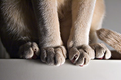 All Lined Up (bikeracer) Tags: pet feet topf25 cat notes line monitor tonkinese tungsten paws tonk interestingness499 i500 explore1jun05