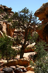 Another Cohab Tree with Rocks (Jimski) Tags: capitolreef cohabcanyon hike