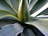 succulence (emdot) Tags: succulent yucca utatahood1 topf25 embadge
