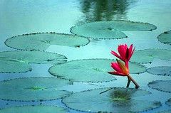 Bangladesh Water Lily - by babasteve