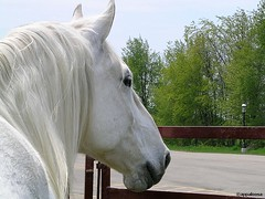 Charlie Daydreaming... (appaIoosa) Tags: horses horse white animal animals caballo cheval grey appaloosa top20animalpix top20horsepix pferde cavallo top20halloffame paarden percheron appaloosa