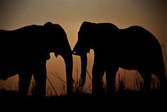 An African sunset (BoazImages) Tags: africa sunset wild nature topf25 1025fav bravo wildlife elephants botswana chobe lpwild