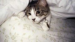 Owen - movin' around in the Bedsheets (Annejelynn) Tags: cats cat chats furry kitten feline chat fuzzy kitty kittens gatos gato kitties felines katze kittycats