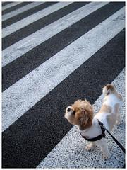(malota) Tags: bug dog doggie perra perrita pavement asphalt stripes crosswalk street