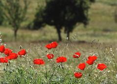File0083 (Las fotos de Chicho) Tags: flores flowers paisajes landscape amapolas