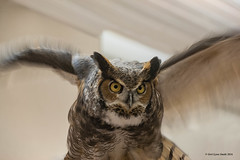 Great Horned Owl Wings (gerilynns) Tags: eyesonowls audoban maine birds predators feathers wings faces