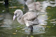 Greater Flamingo - Phoenicopterus roseus (HGHjim) Tags: greaterflamingo phoenicopterusroseus greater flamingo phoenicopterus roseus