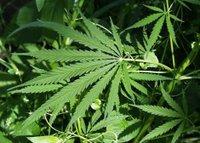 Legalizacija marihuane u Kaliforniji