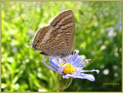 borboleta & margarida azul ( Graa Vargas ) Tags: 2005 blue  flower butterfly all rights daisy vargas reserved graa graavargas duetos 52708090114 2005graavargasallrightsreserved