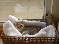 Ling in her basket-bed (_Xti_) Tags: gato gatos cat cats gatosexoticos gatoexotico exoticcat exoticcats lua ling katzen gatto gatti kätzchen méo kitty furry cutecat feline felines exotic persian gata gatas chat silver golden sorthair pet pets eyes kaz ket mau exoticsorthair fantastic