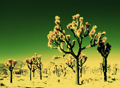color infrared. joshua tree, ca. 2005. (eyetwist) Tags: california park tree green toxic yellow nationalpark desert kodak joshua joshuatree ishootfilm 29palms infrared americana colorinfrared greenyellow twentyninepalms eir yuccavalley betterlivingthroughchemistry thehighdesert jtnp eyetwist top20ir top20infrared dramaticcolor top20irfilm toxiccolors keyspoint contactforstockusage thisimagemaybeavailableforlicensecontactformoreinfo