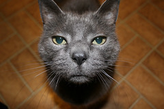 Rent-A-Cat 4202 (blairware) Tags: cat grey interestingness handsome buddy trust curious rac onetopfave
