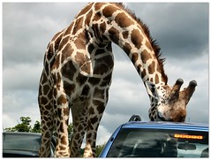 Drive Through Zoo #15 (Pewari) Tags: car monthlyscavengerhunt giraffe caughtintheact creamofthecrop monthly hunt sunroof safaripark scavenger interestingness2 cotcmostfavourited i500 explore03dec05 msh0306 msh03065 abigfave lmaoanimalphotoaward