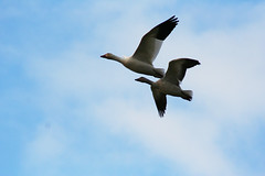 IMG_7883.jpg (wildorcaimages) Tags: snowgeese birds