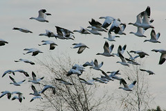 IMG_8056.jpg (wildorcaimages) Tags: snowgeese birds