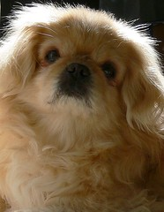 Daisy (Walnut Creek Alpacas) Tags: portrait dog pet pets cute animal closeup puppy interesting canine pekingese daisy furryfriday peke