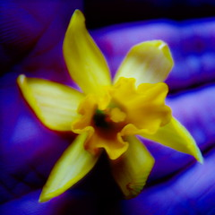 Warming yellow from the blues.......... (ANDI2..) Tags: hand macro yellow flower blues spring daffodil weekend sad happy wishes tag1 tag2 tag3 taggedout