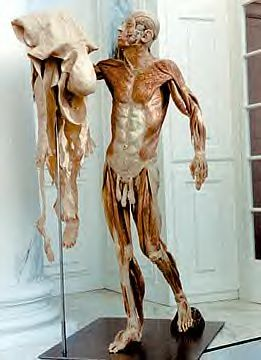 Body Worlds model: human male with entire skin removed