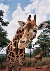 Giraffe - by james_michael_hill