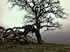 Tree in fog (allistair) Tags: california tree fog eastbay sanramonvalley