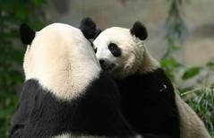 Not now Tai, mommy is eating (somesai) Tags: animal animals smithsonian panda tai endangered pandas taishan dczoo butterstick
