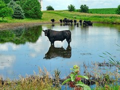 Whole Lotta Bull (Terry_Lea) Tags: ranch cow dallas pond corn texas cows angus blackcow nobull wideopenspaces terrylea bulllake abigfave bumsteer angusamongstus ledzepplinwholelottabull somebodytookmyhorns