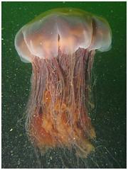 Lion's Mane Jelly (Dan Hershman) Tags: jellyfish underwater scuba sound lions puget mane