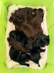 Nine Lives (Blazingstar) Tags: puppies box retriever flatcoated rubbermaid 3daysold ninelives