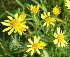 Jakobs-Kreuzkraut (karin_b1966) Tags: plant flower nature garden natur pflanze blume garten flowerpower florafauna flowerfactory flowermacroism
