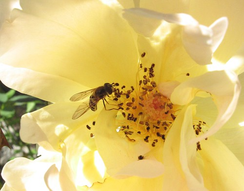 Bee in a white rose