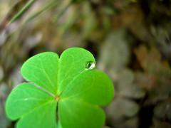 little drop (Guillermo Salinas) Tags: chile santiago macro reflection green art nature water rain closeup leaf backyard agua dof bright bokeh drop guillermo salinas reflejo gota chinos trebol fe120