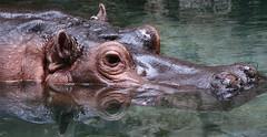 Hippo-nautica - by stephcarter