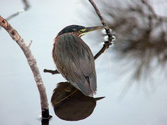 My Friendly Green Heron - by nal from miami