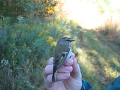 Golden-crowned kinglet (bioboi) Tags: bird migration avian goldencrowned kinglet gcki