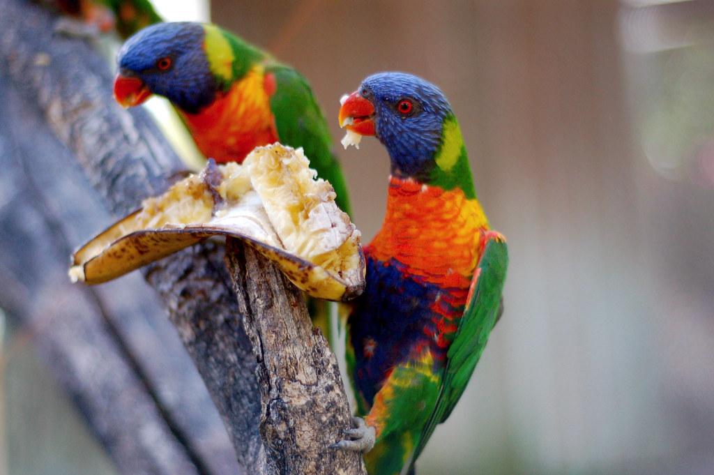 Lório-arco-íris