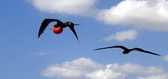 Frigate birds (Mnica (Monguinhas)) Tags: sky white birds animal animals branco tiere himmel cu animais weiss pssaros tier frigates monguinhas frigatas