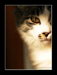 a lady portrait (Olivier Jules) Tags: portrait italy cats topf25 animal lady blog eyes europa europe italia pussy kitty myspace graphs ring 101 deviantart gatto gatti asd abruzzo facebook 35faves abigfave anxanum diamondclassphotographer excellentphotographerawards olivierjules giulioolivahotmailit pussygraphs 5prettykittycommentsparti