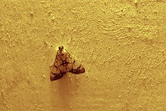 Stippled cream moth (tomato umlaut) Tags: india topv111 tag3 taggedout tag2 tag1 bombay moths mumbai crambidae indianmoths indiamoths mothsofindia spilomolinae