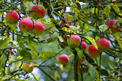 apples (*Sabine*) Tags: autumn nature germany deutschland europa europe herbst natur apples bergischesland appletree solingen weinsbergtal year:uploaded=2006 sabinesteinmller