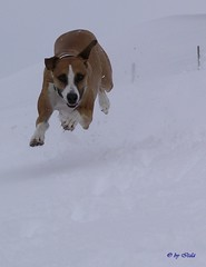 I'm coming! (Itzl  ~~~) Tags: winter snow dogs nature animals switzerland top20animalpix top20winter 2006 josh explore top20dogpix 5bestdogs doggies scc theone smileofadog top20dogs interestingness348 i500 optio550 specanimal grasswil itzl