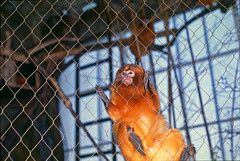 golden lion tamarin2 (nebarnix) Tags: animals dallasworldaquarium monkeys primates tamarins goldenliontamarins