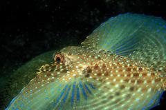 Gurnard on the Wing - Coió (laszlo-photo) Tags: brazil fish brasil underwater scuba diving soe arraialdocabo gurnard flyinggurnard animalkingdomelite naturesgallery dactylopterus pldivers