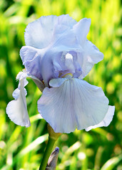 the iris opened (Brenda Anderson) Tags: iris flower bloom curiouskiwi utatathursdaywalk28 brendaanderson curiouskiwi:posted=2006