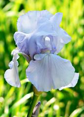 the iris opened (Brenda Anderson) Tags: iris flower bloom curiouskiwi utatathursdaywalk28 brendaanderson curiouskiwi:posted=2006