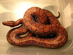 Brazilian rainbow boa (EcoSnake) Tags: wildlife snakes reptiles herps boas brazilianrainbowboa rainbowboas ishflickr