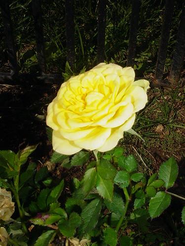 Sassy's yellow rose