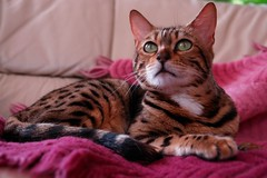 Umbria, the bengal cat (tollen) Tags: cats cat kitten greeneyes hunter bengal bengalcat