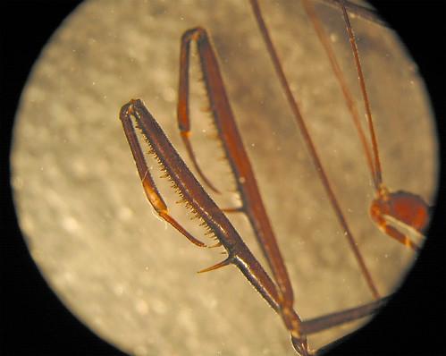 chinche mantis :( 286316012_1b93f64cec